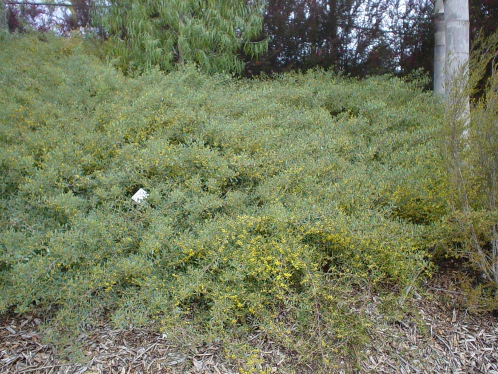 Hillside With Acacia Redolens