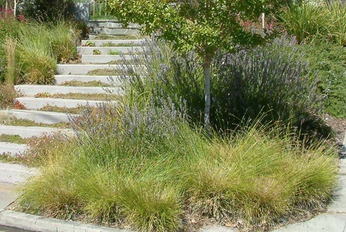 Plant photo of: Carex tumulicola
