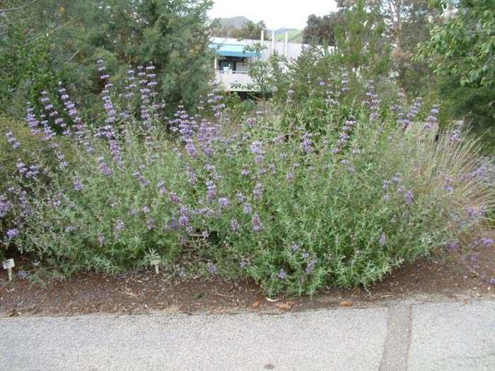 Plant photo of: Salvia leucophylla