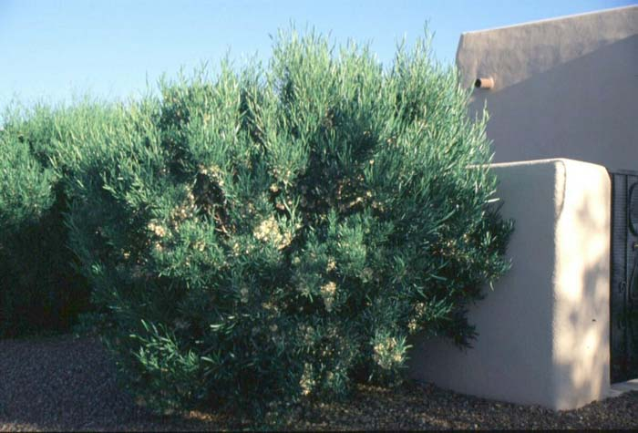 Plant photo of: Dodonaea viscosa