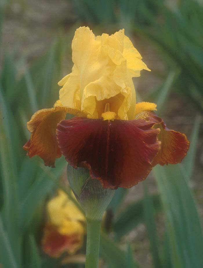 Plant photo of: Iris bearded 'All That Jazz'