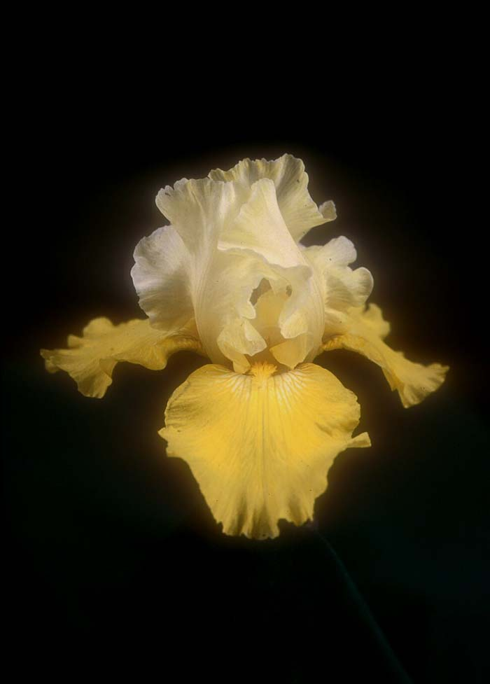 Plant photo of: Iris bearded 'Echo De France'