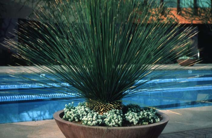 Plant photo of: Dasylirion longissimum