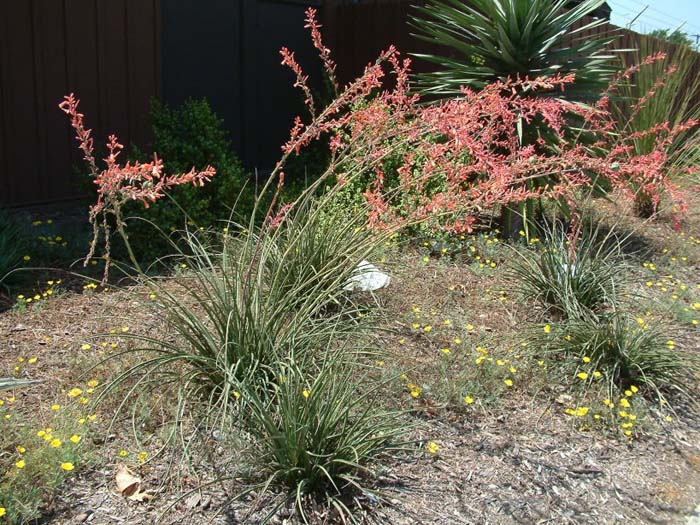 Plant photo of: Hesperaloe parviflora