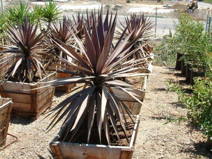 Plant photo of: Cordyline baueri