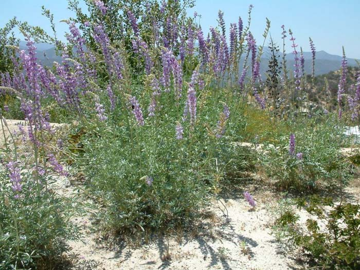 Plant photo of: Lupinus arboreus