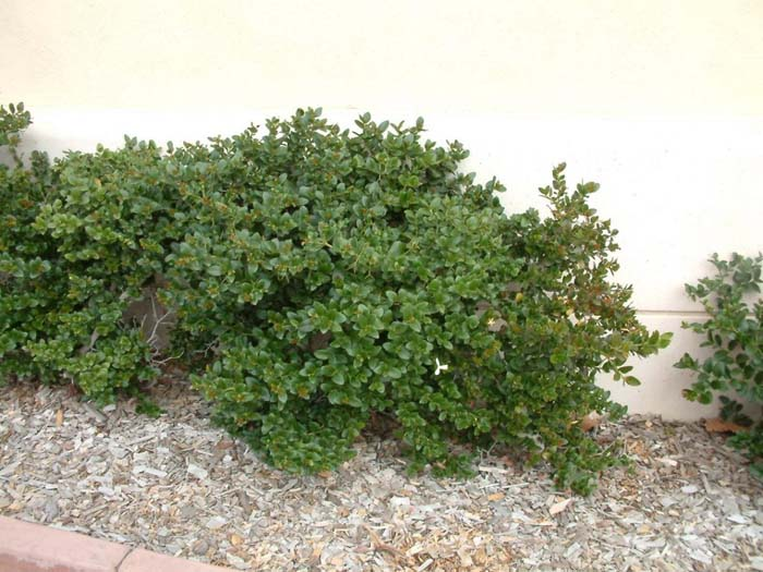 Plant photo of: Carissa macrocarpa