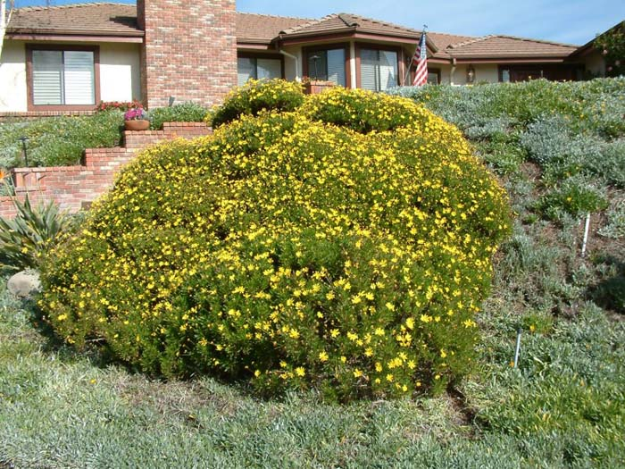 Plant photo of: Chrysanthemum frutescens