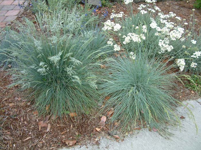 Plant photo of: Festuca glauca