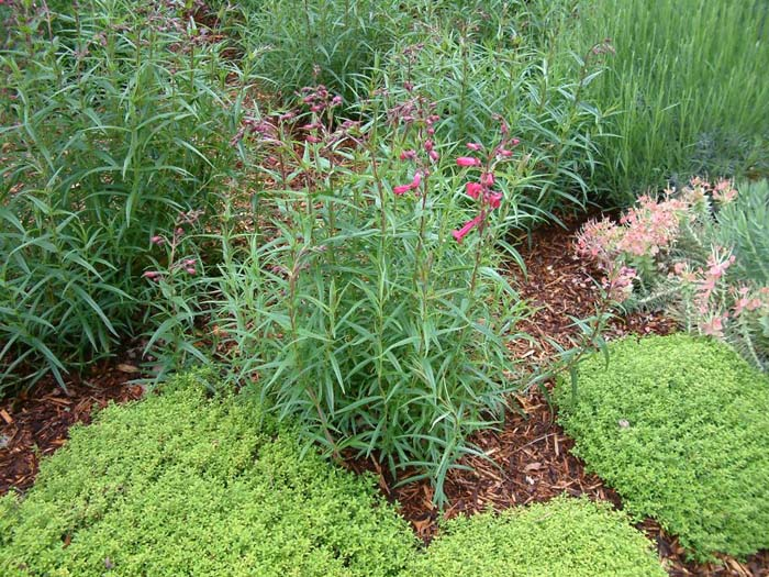 Plant photo of: Penstemon hybrids 'Garnet'