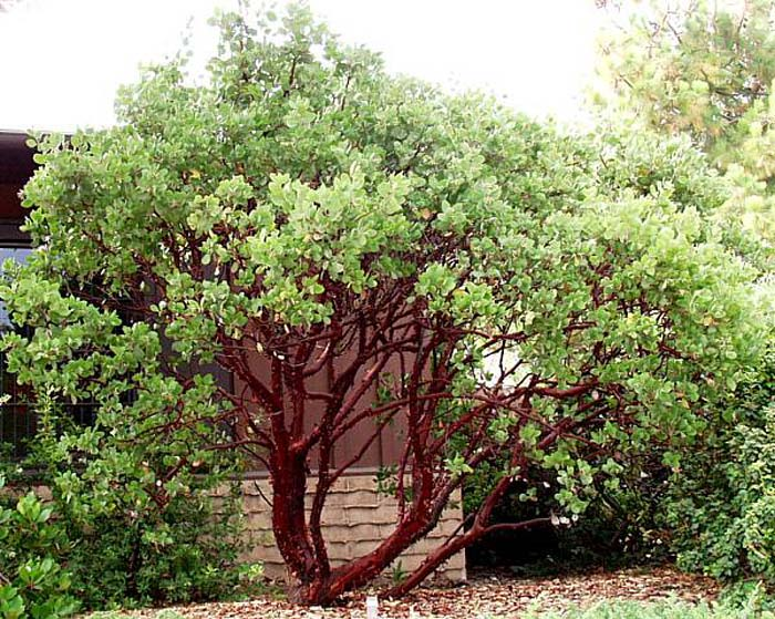 Plant photo of: Arctostaphylos manzanita 'Dr. Hurd'