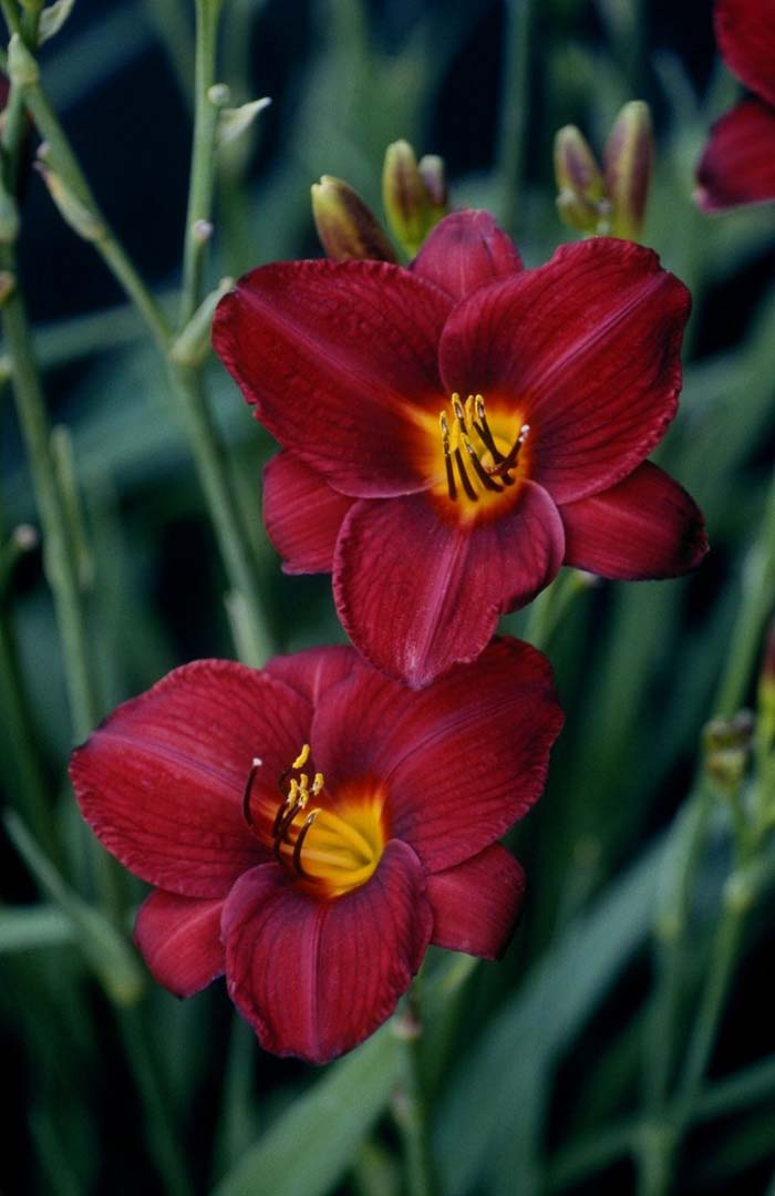 Picture of Live Daylily aka Hemerocallis 'Frankly Scarlet' Perennial Plant Fit 5 Gallon Pot