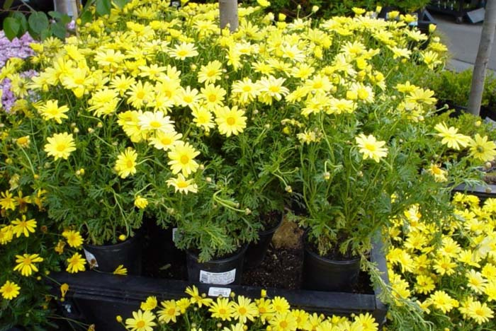 Plant photo of: Chrysanthemum fru.'Dwarf Yellow'