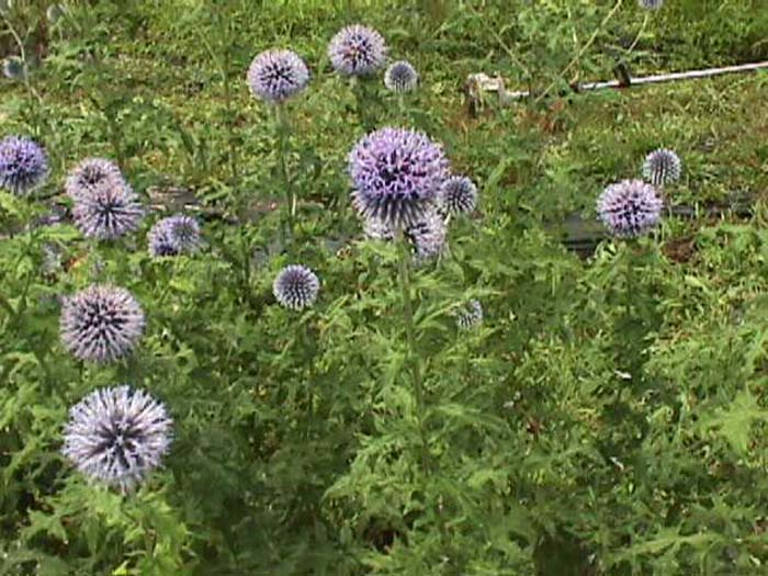 Plant photo of: Echinops ritro