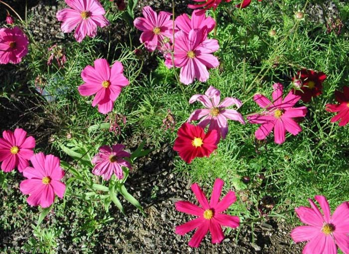 Plant photo of: Cosmos bipinnatus