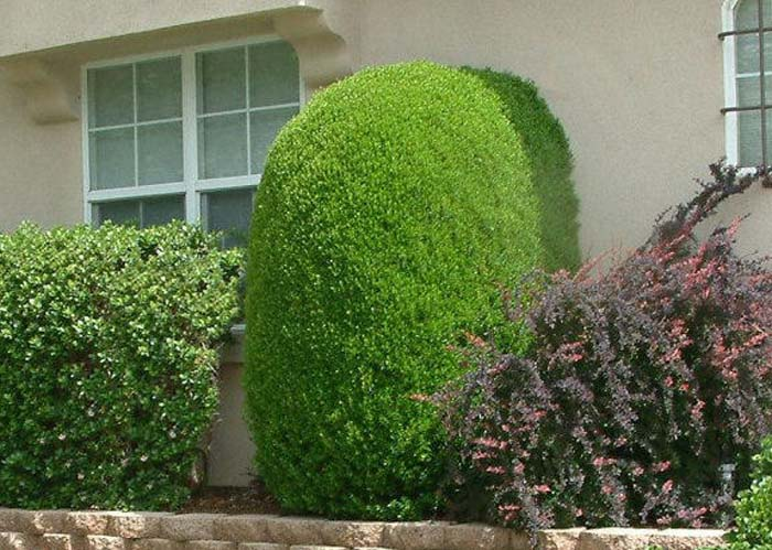 Plant photo of: Myrtus communis
