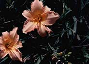 Hemerocallis 'Delicate Treasure'