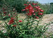 Firebird Border Penstemon