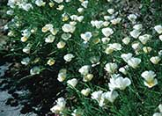 Eschscholzia californica 'White'